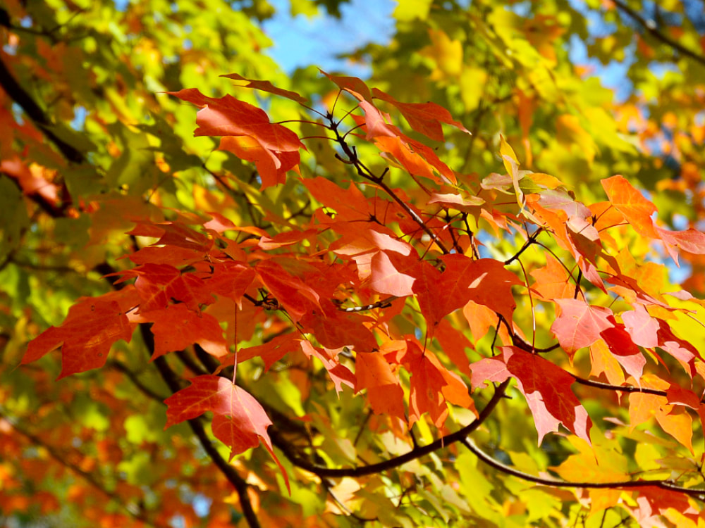 Photograph of red-orange fall leaves on a tree branch with yellow-green leaves and blue sky blurred in the background.
